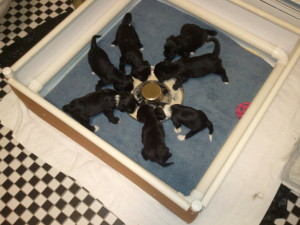 Puppies learning to dine 'in the round'