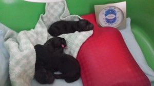 Billie's 2015 litter of three puppies, Day One, August 2015