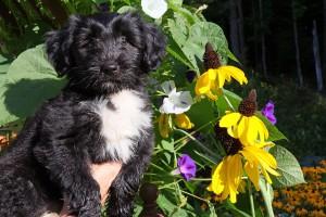 Kensington Dogs August 9 2016 028
