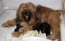 Izzie nursing her litter of five sable coated puppies