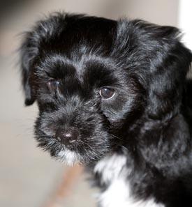 beau_puppy