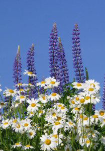 Lupines and daisies - Summertime!